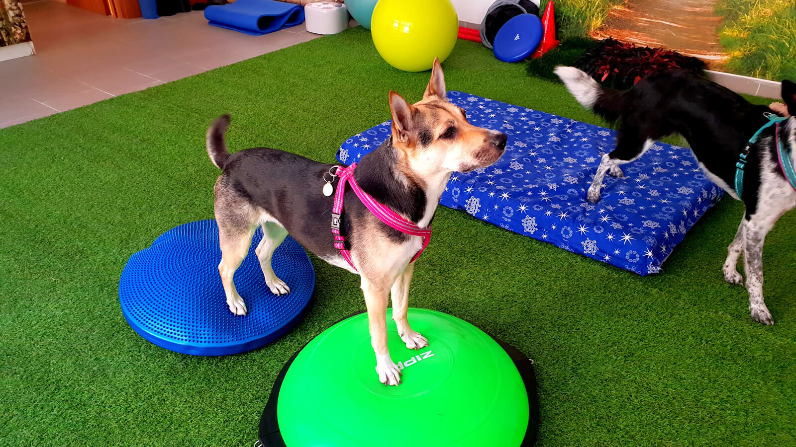 All kind of dogs are following physical rehabilitation sessions at 'Psiruch', from small to big dogs.